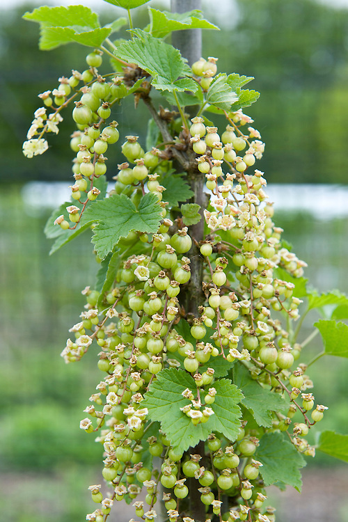 Young berries on a redcurrant cordon, early May.