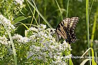 03023-03211 Eastern Tiger Swallowtail (Papilio glaucaus) on Slender Mountain Mint (Pycnanthemum tenuifolium) Marion Co. IL