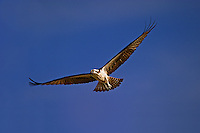 Osprey in flight<br /> Pandion haliaetus<br /> Sanibel Island, Florida