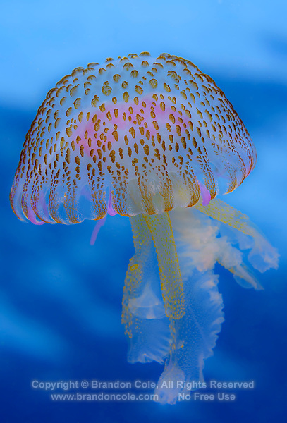 WQ71588-D. Mauve Stinger Jellyfish (Pelagia noctiluca), also called True Jellyfish. Azores, Portugal, Atlantic Ocean.<br /> Photo Copyright © Brandon Cole. All rights reserved worldwide.  www.brandoncole.com