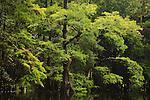Cypress at Fisheating Creek