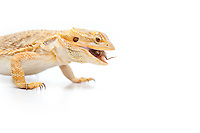 Bearded Dragon, eating an insect