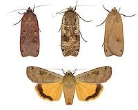 Large Yellow Underwing - Noctua pronuba - 73.342 (2107)