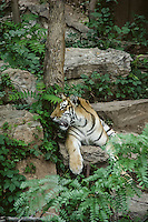 Tiger, Denver Zoo