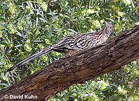 0610-1109  Greater Roadrunner (Chaparral Cock or Ground Cuckoo), Geococcyx californianus  © David Kuhn/Dwight Kuhn Photography