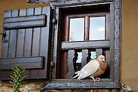 Stock photo: Brown pigeon sitting quietly on the window seal of a charming old fahsioned wooden window of a stone house in Kakopetria village of Cyprus.