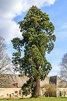 France, Loir-et-Cher (41), Cheverny, château et jardin de Cheverny en avril, séquoia géant, Sequoiadendron giganteum (vers 1870)