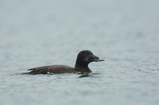 Adult female White-winged Scoter (Melanitta fusca). Whatcom County, Washington. March.