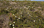 Gum cistus plant, Cistus ladanifer, Rota Vicentina Fishermen's Trail, Odeciexe, Algarve, Portugal