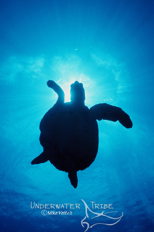 Hawksbill turtle silhouette; Eretmochelys imbricata, Rangiroa, French Polynesia, Pacific Ocean