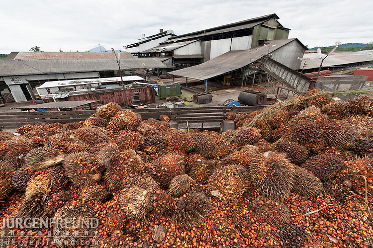 Red and yellow fruits of palm oil (Elaeis quineesis Jacq) ripe with oil will be processed in the mill for oil extraction. New Britain Palm Oil Limited.