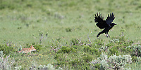 This raven kept approaching a coyote den to pick up leftover scraps of food.