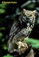 OW06-012z  Great horned owl - Bubo virginianus