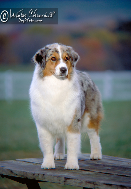 Australian Shepherd Shopping cart has 3 Tabs:<br />