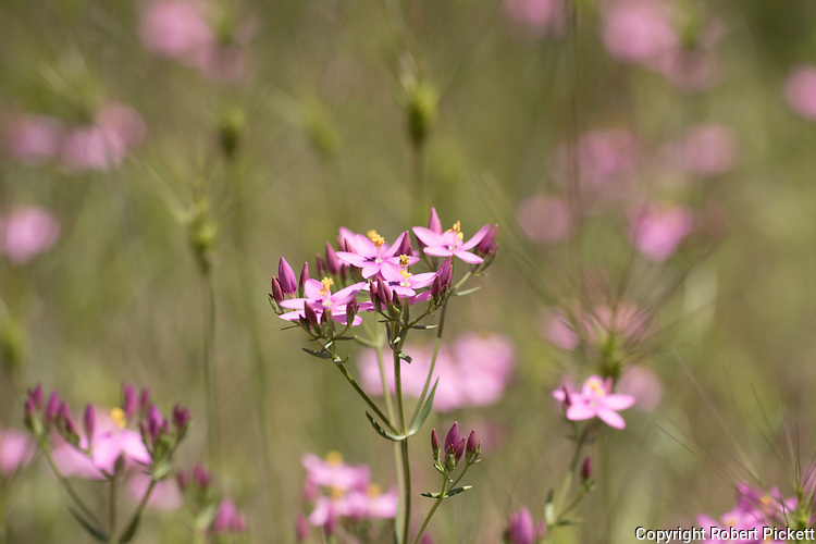 Common Centaury, Centaurium erythraea, near Carvoeiro town, Algarve, Portugal