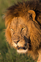 Extreme, uncropped closeup of huge male Lion (Panthera leo), Masai Mara