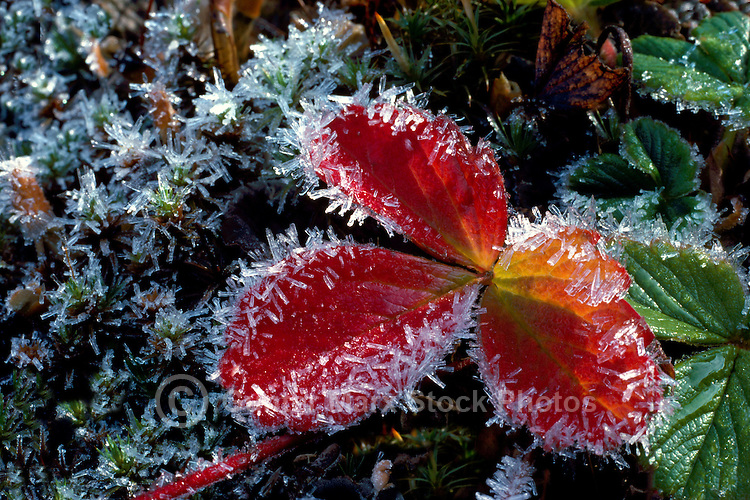 Wild Strawberry Leaves (Fragaria virginiana) covered with Hoarfrost, Autumn / Fall