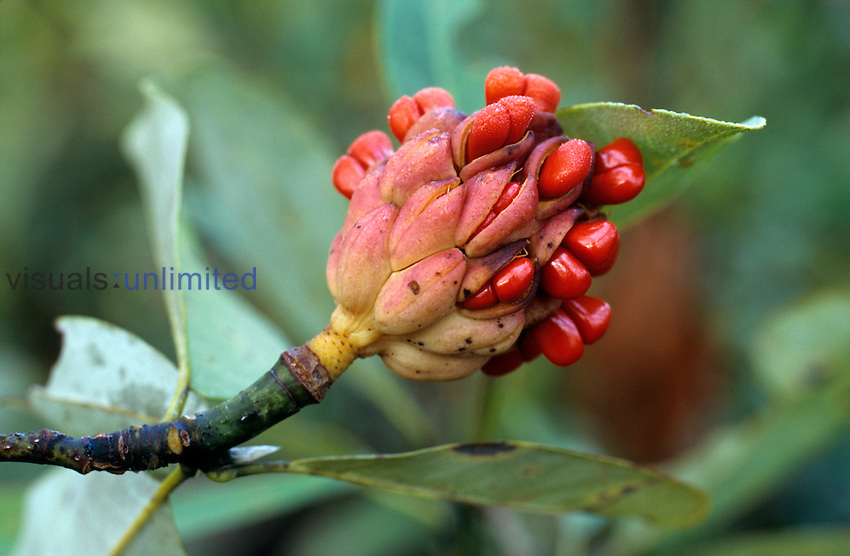 Fruit of the Sweetbay Magnolia (Magnolia virginiana), Green Swamp Nature Preserve, North Carolina, USA.