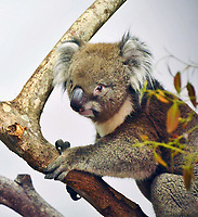 BNPS.co.uk (01202 558833)<br /> Pic: SteveMytton/BNPS<br /> <br /> Great explorer - Burke the male Koala jets into Britain...<br /> <br /> A koala is adjusting to his new surroundings after flying in from Japan to join a British safari park's revolutionary breeding programme.<br /> <br /> 'Burke', a 12 year old male southern koala, has relocated from Osaka Zoo to Longleat Safari Park in Wilts.<br /> <br /> He was accompanied on the 12 hour flight by his Japanese keepers who have stayed on temporarily to help him settle in at Longleat.<br /> <br /> His arrival means the safari park have the only two male southern koala's outside of Australia.<br /> <br /> After spending time in the koala care room, he will join the other male Dennis and the three females Maizie, Violet and Coorong in a purpose-built display. It features a running stream, climbing poles, indoor and outdoor habitats and a constant supply of fresh eucalyptus leaves.