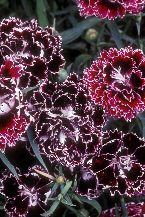 Dianthus 'Black & White Minstrels' black flowered plant