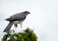 Sparrowhawk Accipiter nisus, male perched in snow, Dumfries, Scotland, January