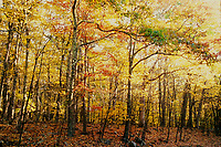 Fall Trees, VA., Fuji Velvia 100 Film