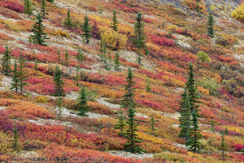 Spruce trees, dwarf birch and colorful autumn tundra vegetation in Denali National Park.