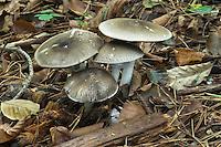 inky mushroom<br /> Agaricus moelleri