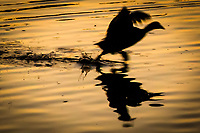 Splashing footsteps highlight this image of an American coot running to escape the taunts of another coot at a neighborhood park late on a winter afternoon surrounded by sunset's golden glow.