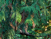 Mountain Lion or cougar (Puma concolor) hidden in western red cedar tree.   West slope Cascade Mountains of Washington.  Fall.