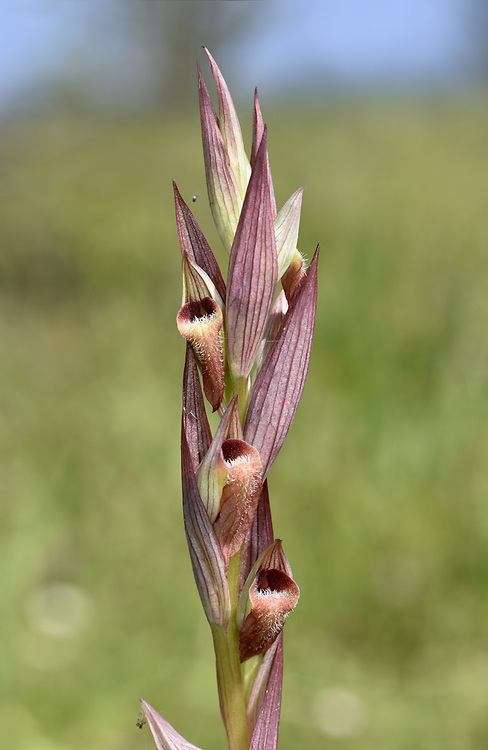 Ploughshare or Long-lipped Tongue Orchid - Serapias vomeracea