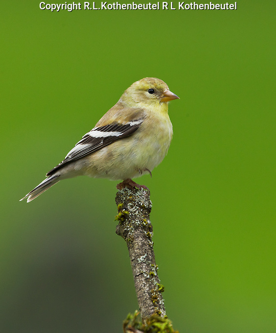 American goldfinch (Carduelis tristis) Adult female standing on one leg while perched on a mossy snag.<br />