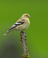 American goldfinch (Carduelis tristis) Adult female standing on one leg while perched on a mossy snag.<br /> Woodinville, King County, Washington State<br /> 5/29/2012