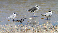 A tern medley. Left to right: Forster's in nonbreeding plumage, juvenile black, laughing gull, sandwich in nonbreeding plumage.