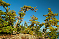 WHite pines at Crow Lake<br /> Crow Lake<br />