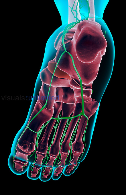 An inferior view of the lymph supply of the right foot. The surface anatomy of the body is semi-transparent and tinted blue. Royalty Free