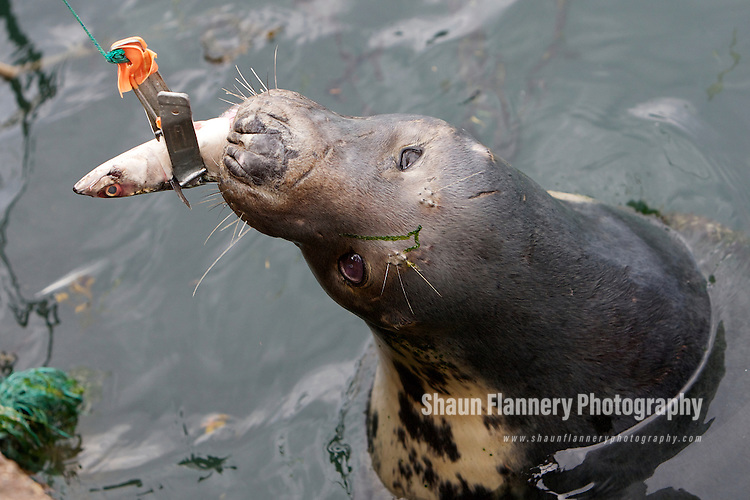 Pix: Shaun Flannery/shaunflanneryphotography.com..COPYRIGHT PICTURE>>SHAUN FLANNERY>01302-570814>>07778315553>>..7th - 14th August 2010..Grey Seal at Eyemouth Harbour, Scotland.