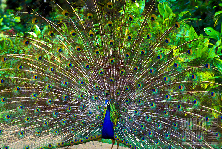 Peacock with spread of feathers at Smiths Tropical paradise, Kauai