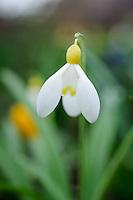 Galanthus 'Primrose Warburg'