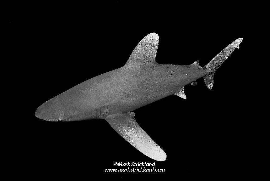 Oceanic Whitetip Shark, Carcharhinus longimanus, easily identified by its long, paddle-shaped pectoral and dorsal fins. Once common throughout the world's deep tropical and subtropical seas, their population has been decimated by commercial fishing in recent years, particularly longlining. Bahamas, Atlantic Ocean