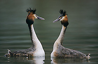 Great-crested Grebe, Podiceps cristatus, pair displaying, Luzern, Switzerland, April 1995