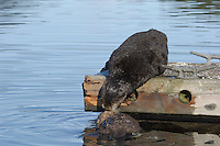 Sea Otter (Enhydra lutris) mom assisting pup up onto boat dock.
