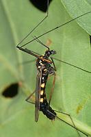 Gelbbindige Schnake, Krähenschnake, Männchen, Nephrotoma crocata, spotted cranefly, Schnaken, Tipulidae, crane flies, crane-flies, daddy-long-legs