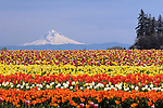 Tulip flowers at Wooden Shoe Tulip Company, Woodburn, Oregon.