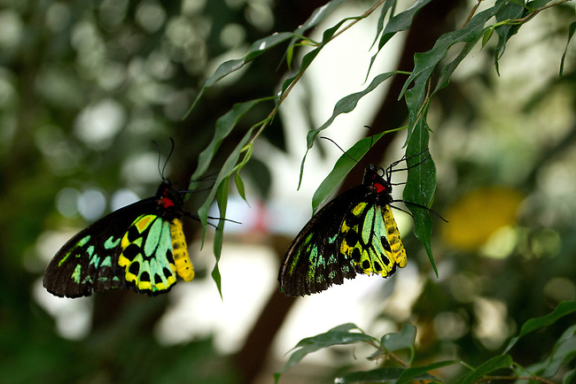 Two male Cain Birdwings, Australia's largest butterfly, hang on thin green leaves showing off their colors evident in a ventral view.
