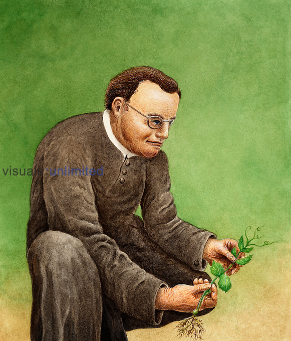 Gregor Mendel (1822-1884), the founder of genetics, studying Pea plant traits.