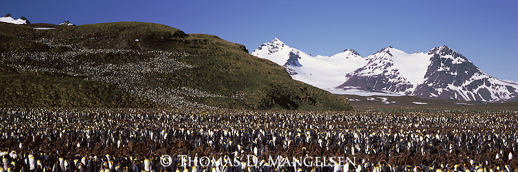 A large king kenguin colony at Salisbury Plain in South Georgia.