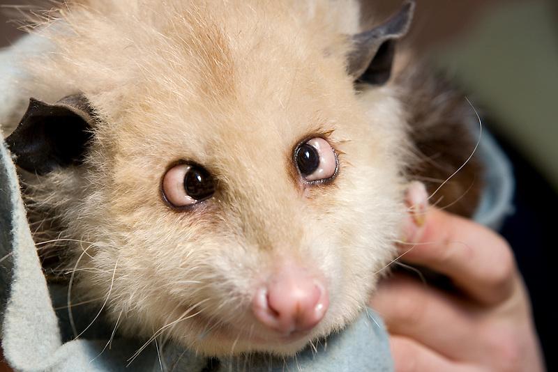 Cross eyed possum. West Coast Game Park. Oregon