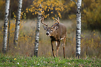 White-tailed buck(s) (Odocoileus virginianus) looking for does