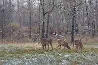 White-tailed deer feeding in a Wisconsin field during a November snowstorm.